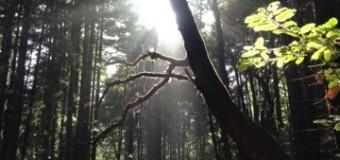 レッドウッドツリーの森で森林浴
