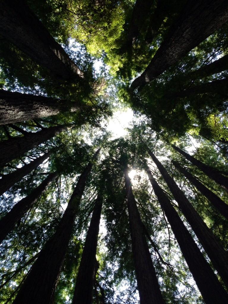 大好きなレッドウッドの森