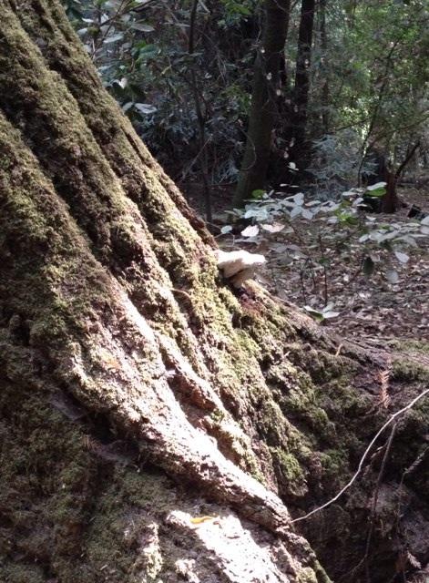 レッドウッドの森の風景