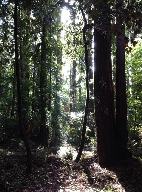 雨上がりのレッドウッドの森