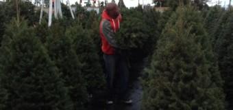 今年のクリスマスツリーはダグラスファー