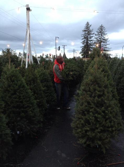 ダグラスファーのクリスマスツリー