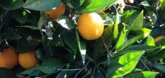 カルフォルニアオレンジとマイヤーレモン