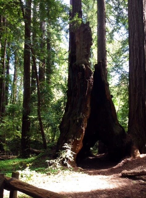 久しぶりのレッドウッドの森