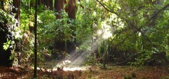 レッドウッドの森のエネルギー