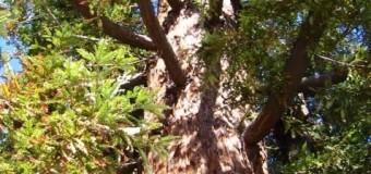 大きなレッドウッドツリーの下で