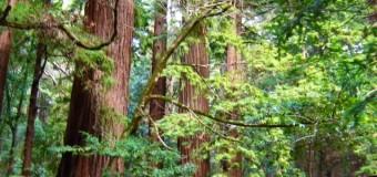 レッドウッドの森の香り