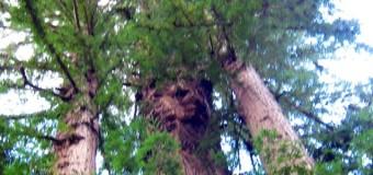 レッドウッドの森からハッピーニューイヤー!