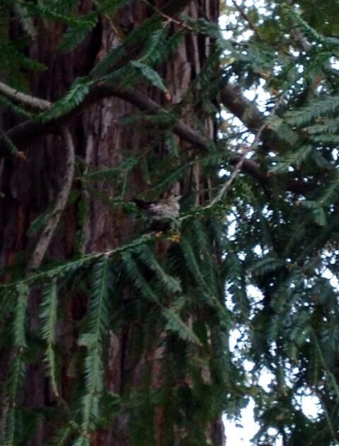 我が家のレッドウッドツリーとハミングバード