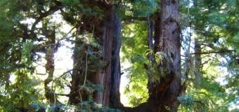 レッドウッドの森に住む妖精と精霊