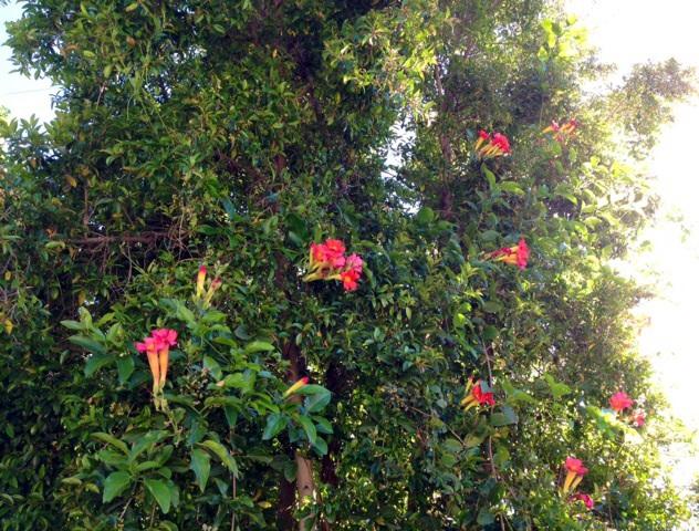 ハミングバードが大好きな花