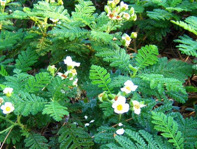 ヨセミテの高山植物
