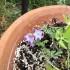 高山植物の花
