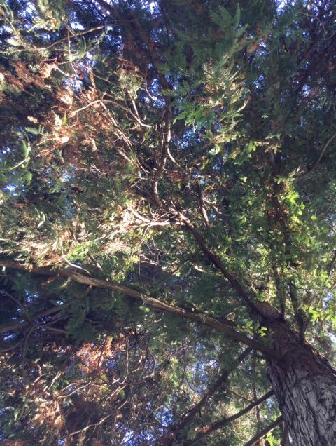レッドウッドの木