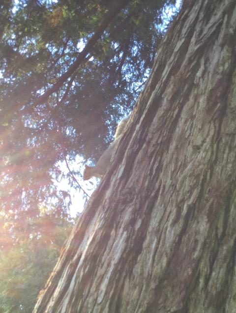 レッドウッドの木とリス