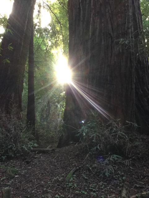 元旦のレッドウッドの森