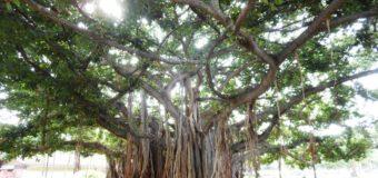 バニヤンツリーのエネルギー体だった私