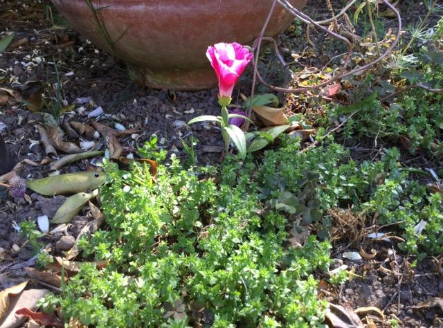 ヨセミテの花