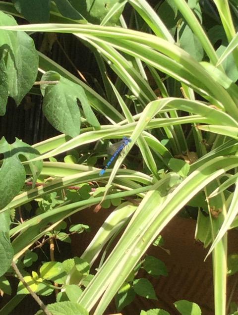 青色のトンボ