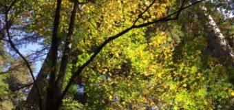 秋色に染まり始めていたレッドウッドの森