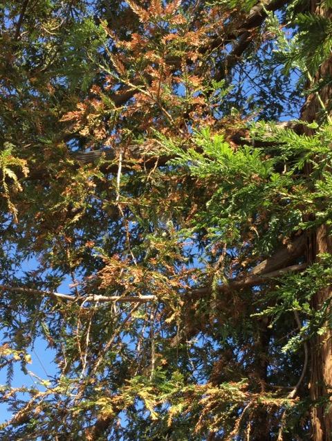 レッドウッドツリー
