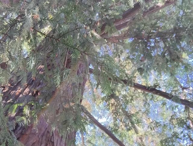 我が家のレッドウッドツリー