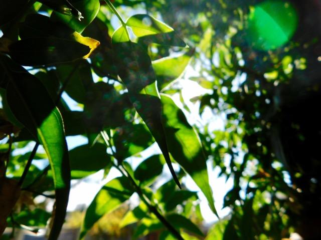 ジャスミンのグリーンカーテン