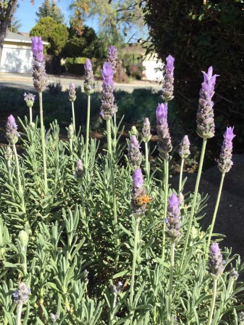 ラベンダーが大好きなミツバチ
