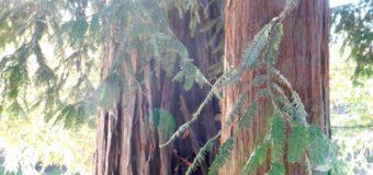 レッドウッドツリーのエネルギーワーク
