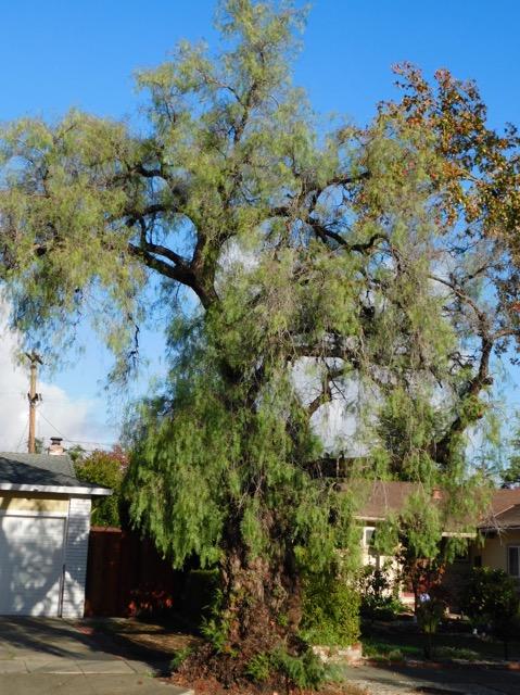 カルフォルニアペッパーコーンツリー