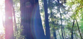 まだ眠っているエルブンの魂を覚醒させるレッドウッドの森