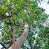 マドローネの木